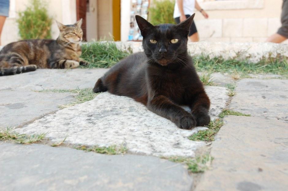 hvar cat