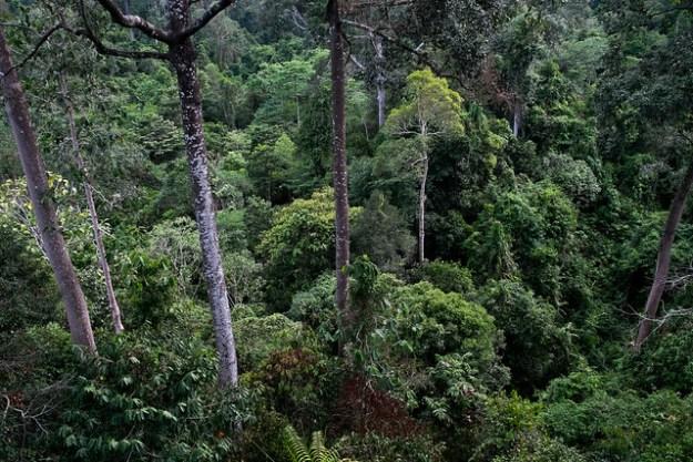 Jungle. Rainforest Discovery Centre, Sepilok