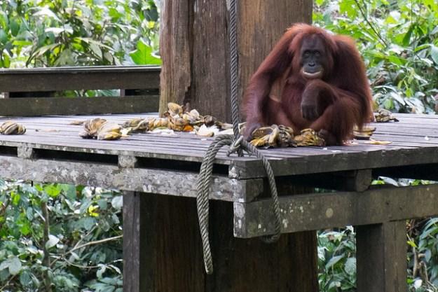 Orangutan feeding time. Sepilok