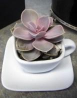 Succulent in Tea Cup