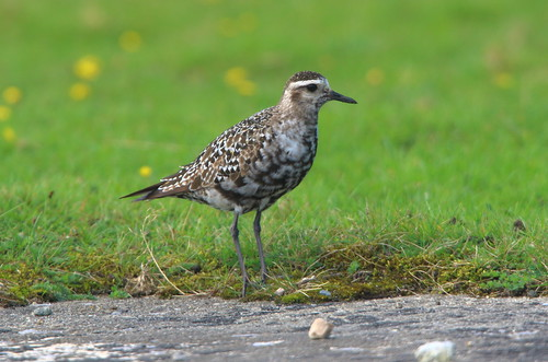 """American Golden Plover, Davidstow, 14.09.16 (M.Halliday) • <a style=""""font-size:0.8em;"""" href=""""http://www.flickr.com/photos/30837261@N07/29500144814/"""" target=""""_blank"""">View on Flickr</a>"""