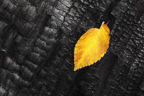 "leaf on burnt tree bark • <a style=""font-size:0.8em;"" href=""http://www.flickr.com/photos/22289452@N07/7985247288/"" target=""_blank"">View on Flickr</a>"