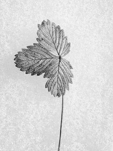 "bw-frost-leaf • <a style=""font-size:0.8em;"" href=""http://www.flickr.com/photos/22289452@N07/8478514441/"" target=""_blank"">View on Flickr</a>"