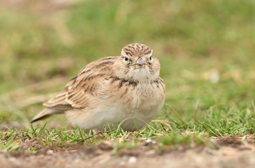 """Short-toed Lark, St Agnes, 14.10.16 (S.Rogers) • <a style=""""font-size:0.8em;"""" href=""""http://www.flickr.com/photos/30837261@N07/30223239822/"""" target=""""_blank"""">View on Flickr</a>"""