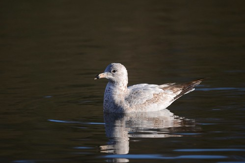 """Ring-billed Gull, Falmouth, 04.03.15, D.Jones • <a style=""""font-size:0.8em;"""" href=""""http://www.flickr.com/photos/30837261@N07/16515404747/"""" target=""""_blank"""">View on Flickr</a>"""