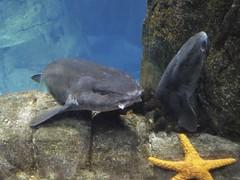 Roussettes et 2toile de mer Aquarium Lisbonne