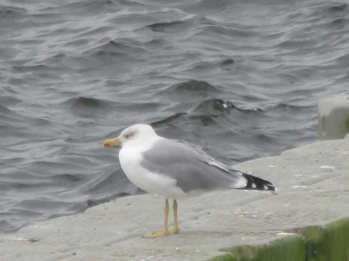"""Yellow-legged Gull, Siblyback Lake, 21.09.16 (D.Cleal) • <a style=""""font-size:0.8em;"""" href=""""http://www.flickr.com/photos/30837261@N07/30093266076/"""" target=""""_blank"""">View on Flickr</a>"""