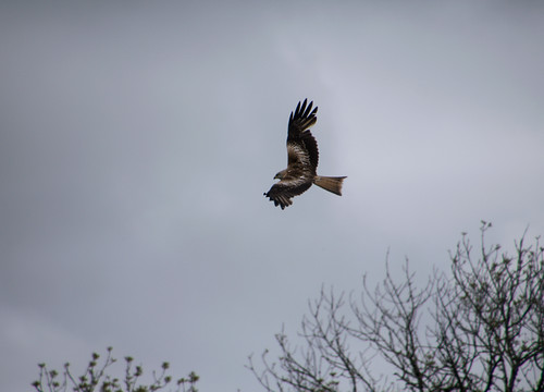 """Red Kite, Bodmin Moor, 170515 (B.Teague) • <a style=""""font-size:0.8em;"""" href=""""http://www.flickr.com/photos/30837261@N07/17889703661/"""" target=""""_blank"""">View on Flickr</a>"""