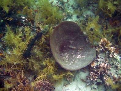 Coral Chimenea gigante