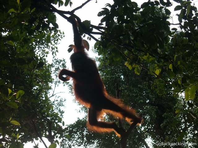 The silhouette of an orangutan, swinging from tree to tree