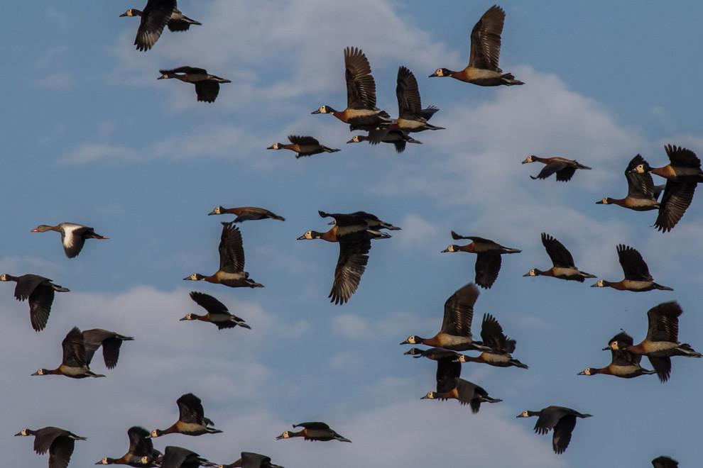 Cientos de patos silbónes cara blanca (Dendrocygna viduata) y un ejemplar de pato silbón ala blanca (Dendrocygna autumnalis) vuelan sobre el río. (Tetsu Espósito)