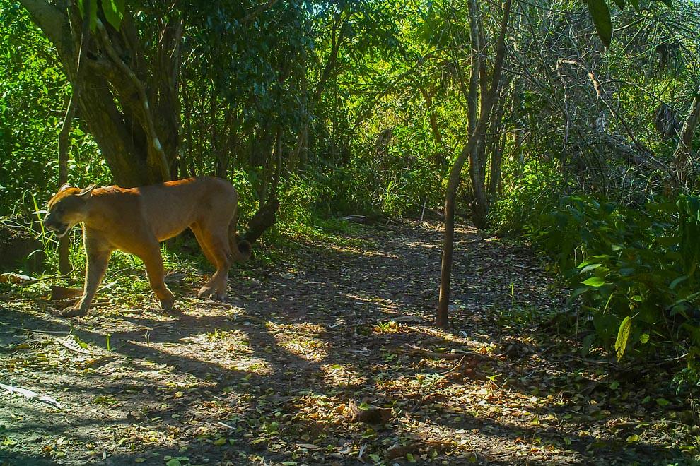 Un ejemplar de Puma (Puma concolor) capturado por la cámara trampa, llega hasta la aguada para saciar su sed. Como cazador y depredador de emboscada, el puma persigue una amplia variedad de presas. Su principal alimento son los ungulados como el ciervo, en particular en la parte septentrional de su área de distribución, pero también caza especies tan pequeñas como insectos y roedores. Prefiere hábitats con vegetación densa durante las horas de acecho, pero puede vivir en zonas abiertas. (Cámara trampa de Guyra Paraguay)