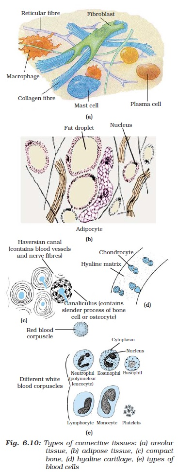 NCERT Class IX Science Chapter 6 Tissues