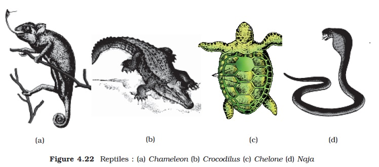 NCERT Class XI Biology: Chapter 4   Animal Kingdom Image by AglaSem
