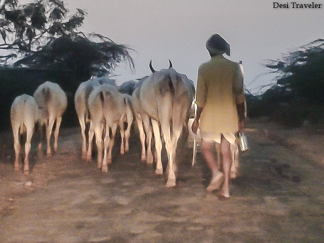 cowherd with cows on a village road returning home in evening