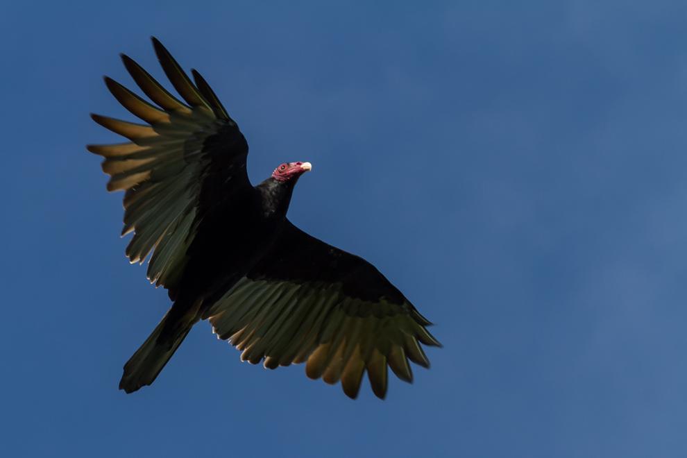 En la Estación Biológica 3 Gigantes pudimos observar una enorme cantidad de especies de aves, aquí un Cuervo cabeza roja (Cathartes aura) nos muestra su elegante vuelo. (Tetsu Espósito)