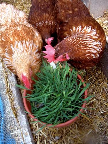 Kiel's birds—Cornelius, Rajun Cajun and Milla—enjoy a tasty snack fresh from the garden.