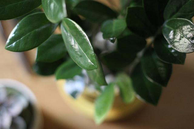 thesill - zzplant close up