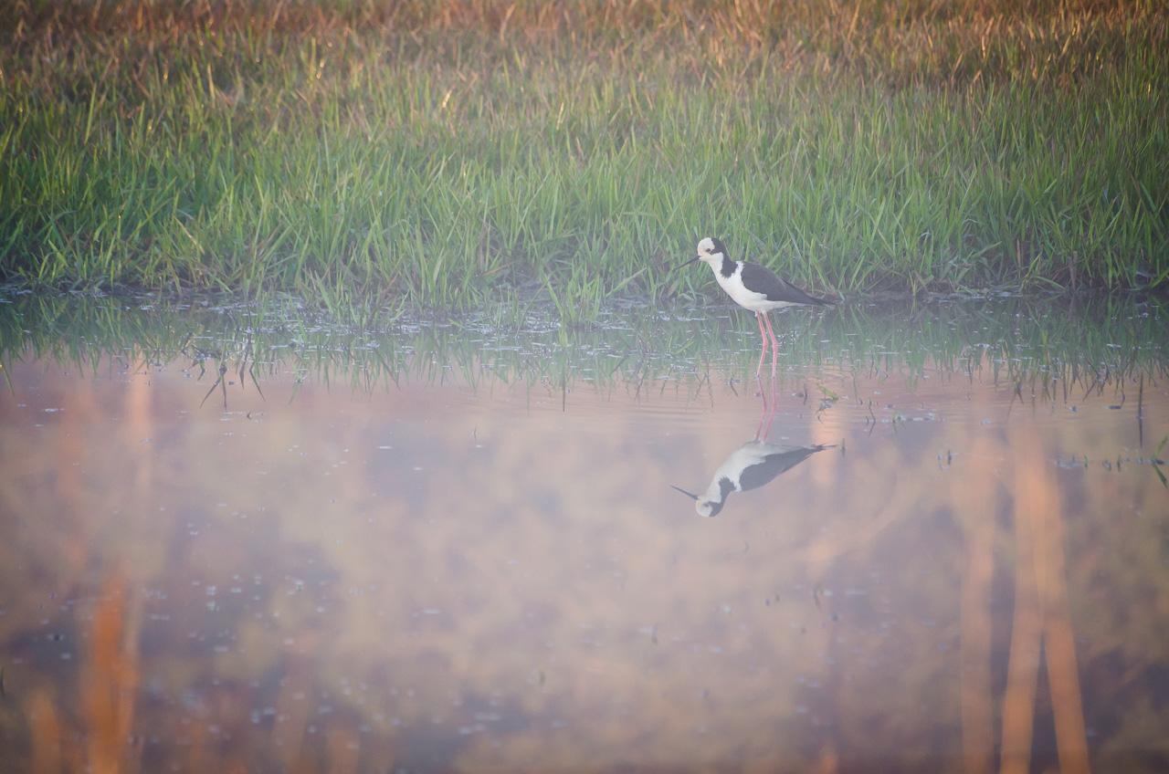 El tero real (Himantopus melanurus), ya sale a buscar alimentos bien temprano en la mañana por las aguadas de la Reserva Morombí. Tiene una hermosa apariencia y vuelo. (Elton Núñez)