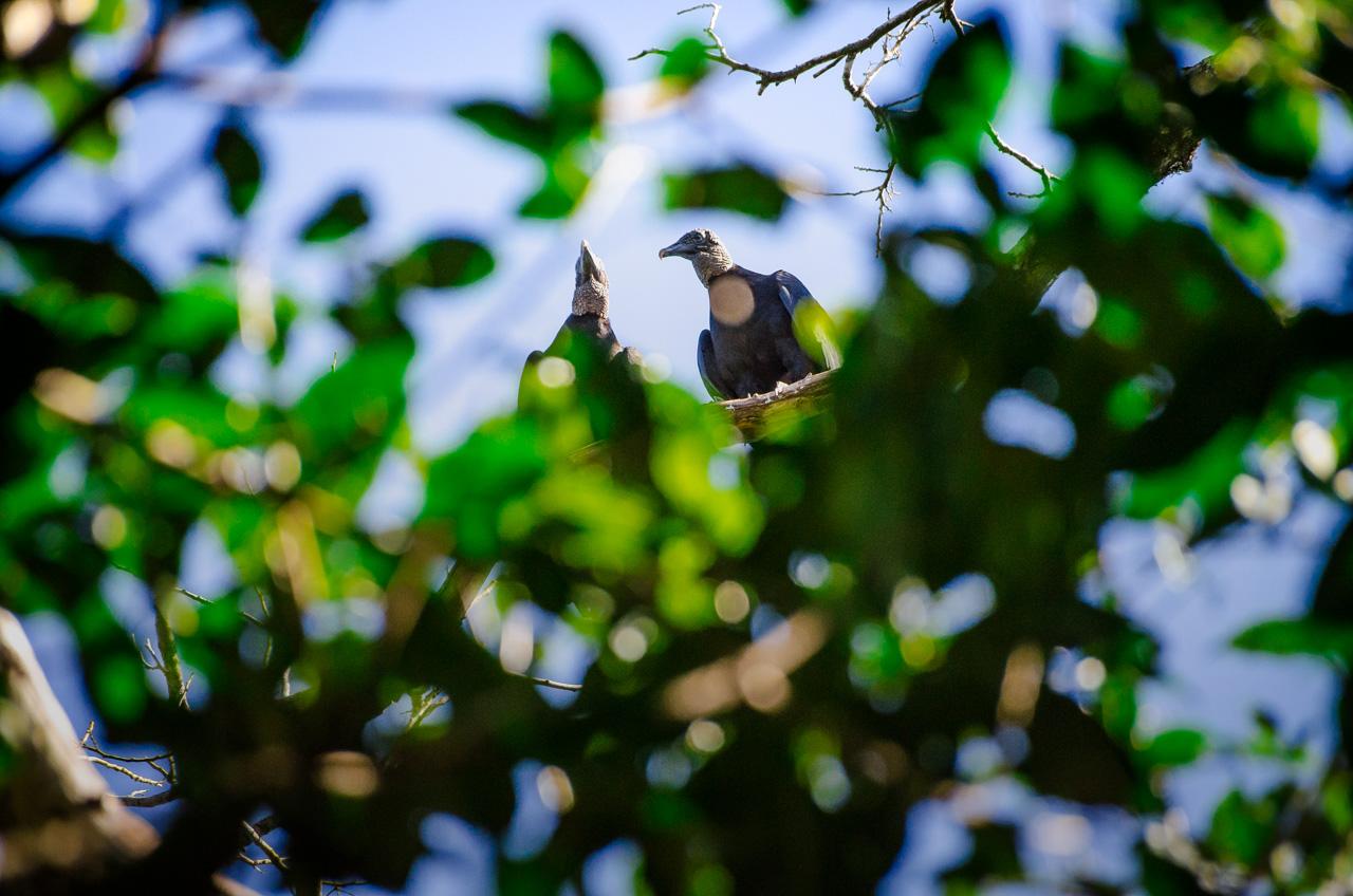 Una pareja de cuervos negros o Yryvu hû (Coragyps atratus) se posa en la copa de los arboles para una parada durante sus sobrevuelos muy altos sobre la Reserva Morombí. (Elton Núñez)