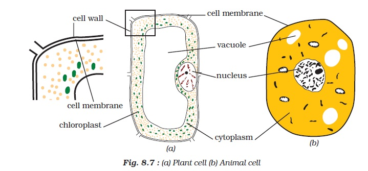 NCERT Class VIII Science Chapter 8 Cell Structure and Functions