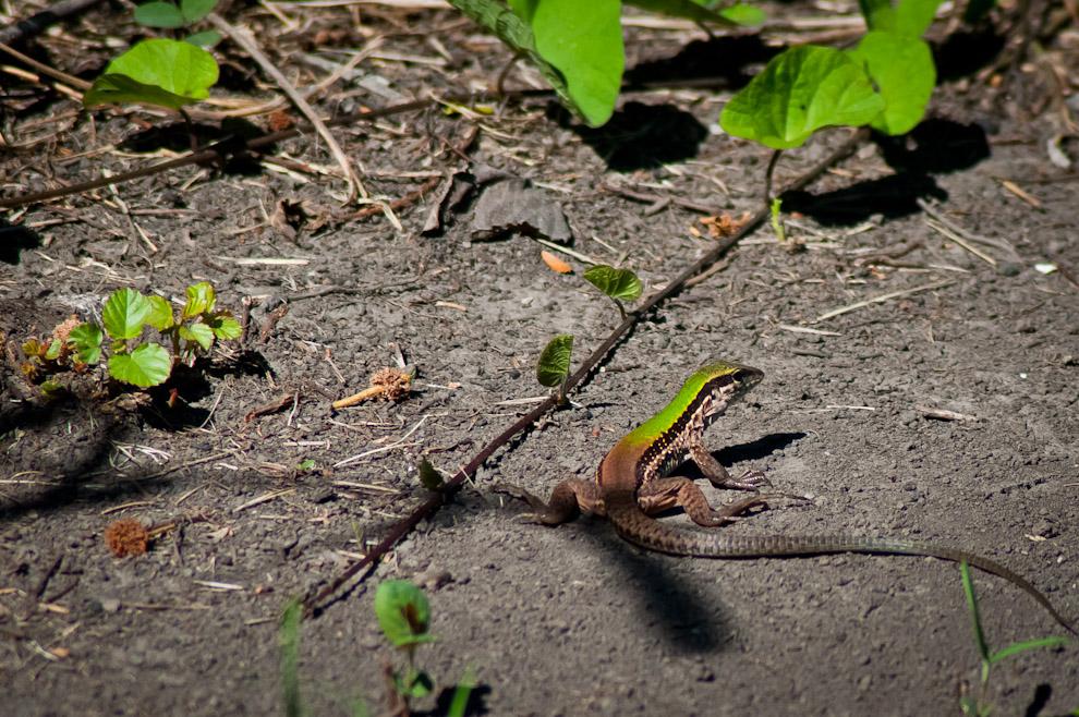 """Una lagartija se esconde cerca de las plantas y arbustos en uno de los senderos de exploración con el que cuenta la Estación Biológica """"Tres Gigantes"""". En estos senderos nos esperan distintas sorpresas a nivel de fauna y flora por lo que es recomendable recorrer con cámara en mano. (Elton Núñez)"""