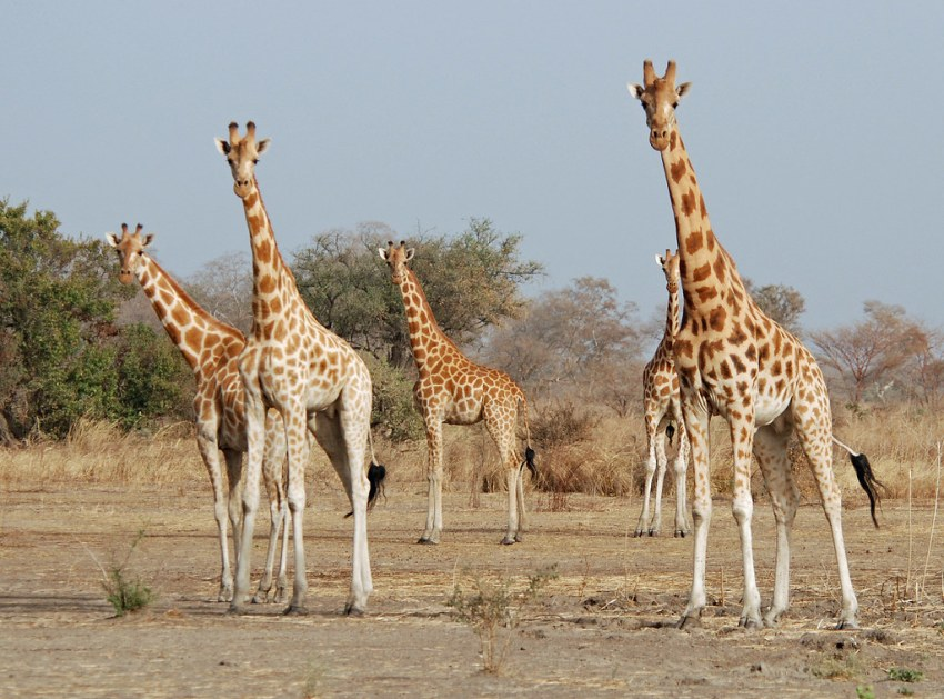 Girafas, Parque Nacional Waza - Camarões. Foto do Nigel Voaden