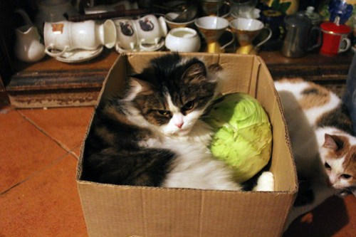 cabbage patch cat.
