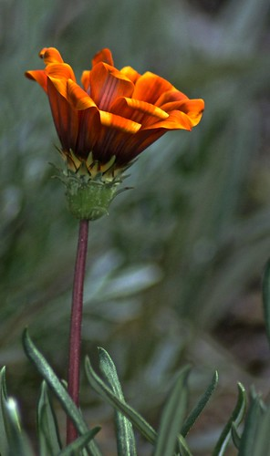 Weekly Photo (2/52) Gazania bloom by Kristen Koster on Flickr