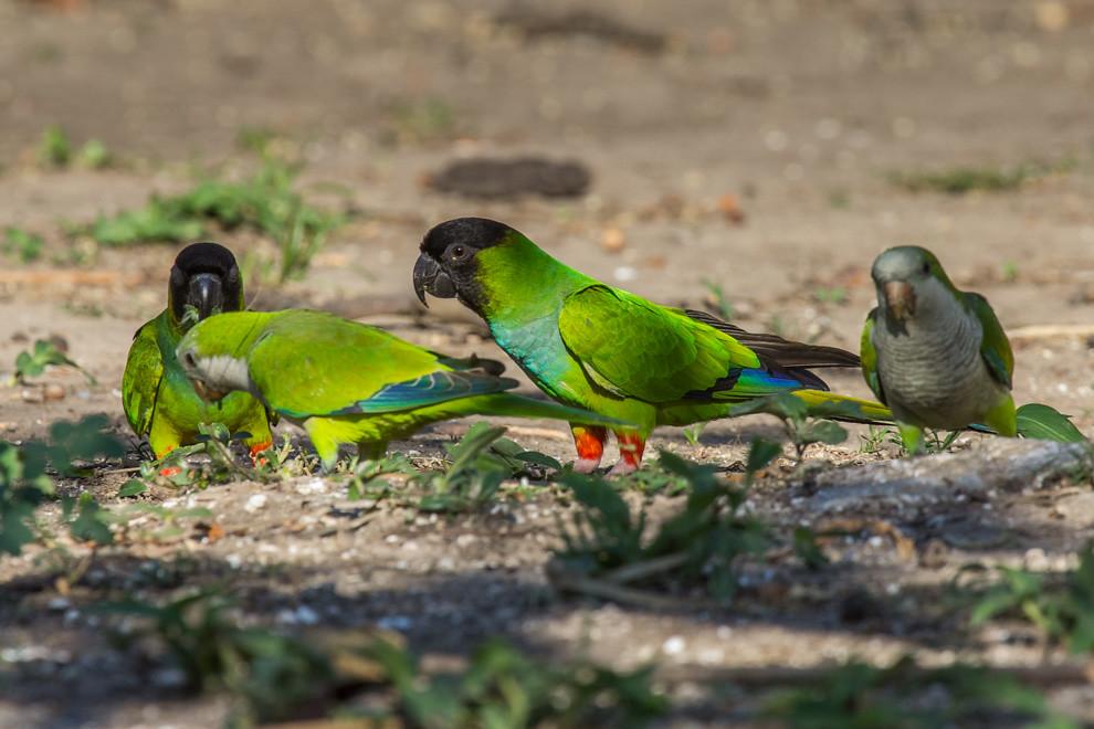 Dos parejas de Ñanday (Nandayus nenday) y Cotorrita común (Myiopsitta monachus) se alimentan en el suelo. El ñanday es una especie de ave sudamericana de la familia de los loros (Psittacidae) que puebla varias zonas de Paraguay, Bolivia, Brasil y Argentina. (Tetsu Espósito)