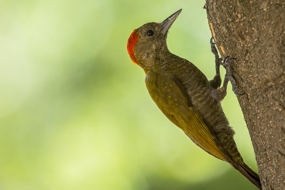 Un carpintero olivaceo o carpintero chico (Veniliornis passerinus) explora los troncos de árboles para alimentarse de insectos, así como larvas. (Tetsu Espósito)