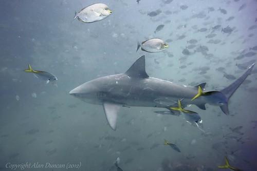sail-rock-bull-shark