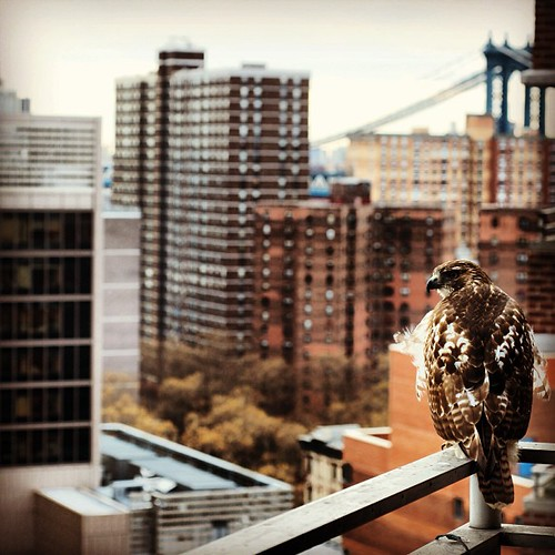 Red-tailed hawk #les #lowereastside #d800 #nikon #raptor