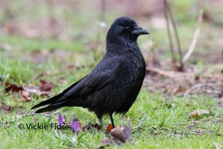 Veronica (Ronnie) the raven in Wapping Woods