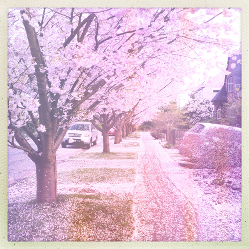 Cherry blossom art shot