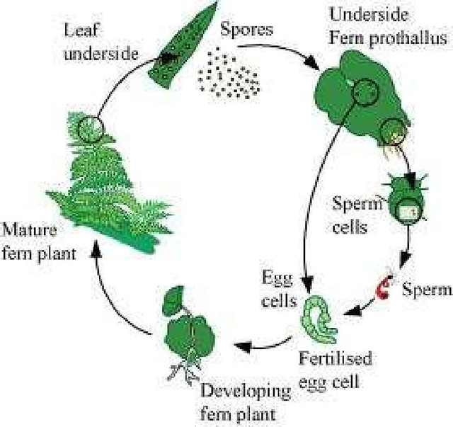 NCERT Solutions Class 11th Biology: Chapter 3 Plant Kingdom Image by AglaSem