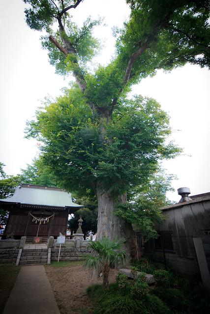 #39 The Giant Zelkova of Hongo-cho Atago Shrine