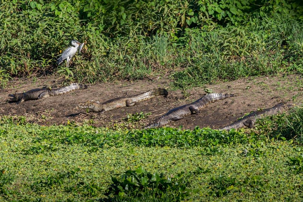 Varios ejemplares de Yacare hu (Caiman yacare) se calientan en el sol mientras detrás una garza mora lleva un pez en el pico. (Tetsu Espósito)