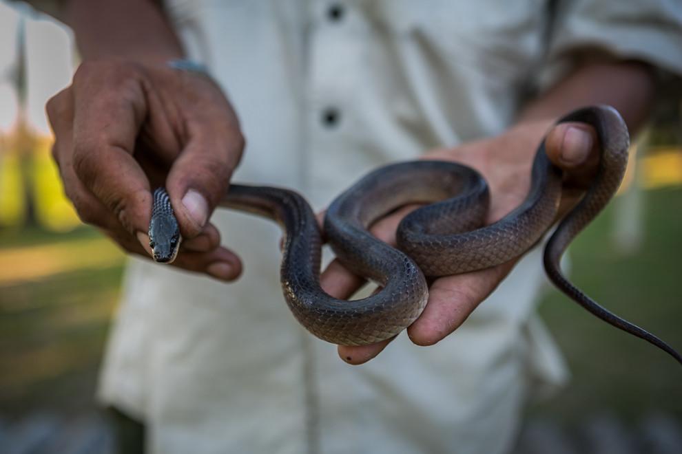 Uno de los guardaparques atrapó una serpiente musarana (Clelia bicolor) que pasaba por las cercanías de la estación biológica. (Tetsu Espósito)