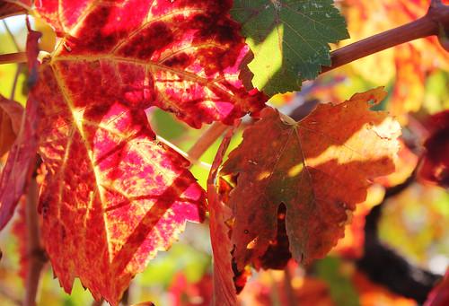 October Vineyard