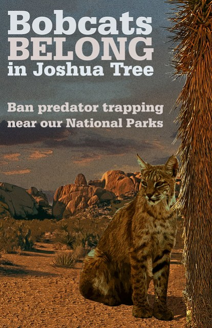 Bobcats Belong in Joshua Tree