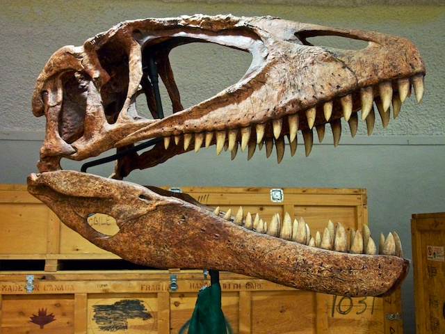 Carcharodontosaurus -- just the bones