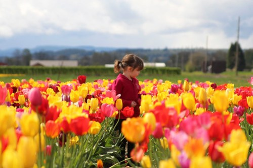 Walking the u-pick tulip field with Chloe
