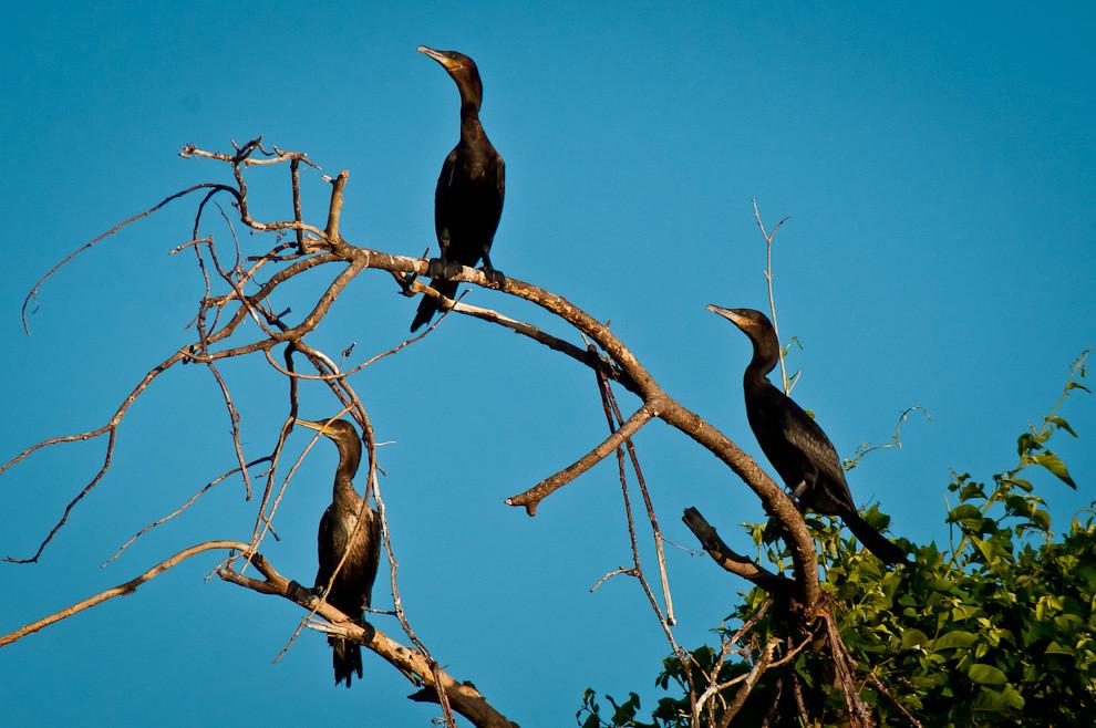 """Un conjunto de Mbiguas o cormoranes (Phalacrocorax brasilianus) se secan al sol en un árbol en las cercanías de la Estación Biológica """"Tres Gigantes"""" durante nuestro recorrido en lancha para hacer observaciones y registro de especies que habitan en la zona. (Elton Núñez)"""