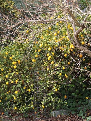 lemons - P3080279