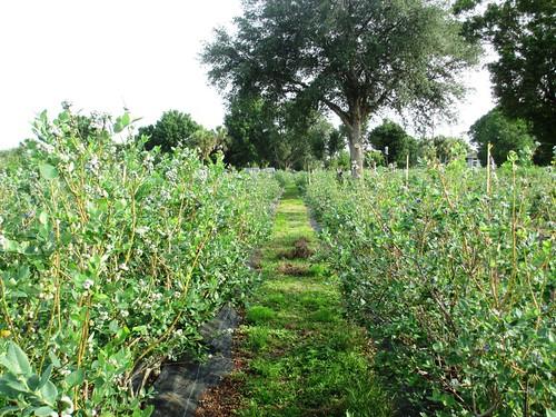 U-Pick Blueberries at Berry Best Farm, Punta Gorda, Fla., April 13, 2013