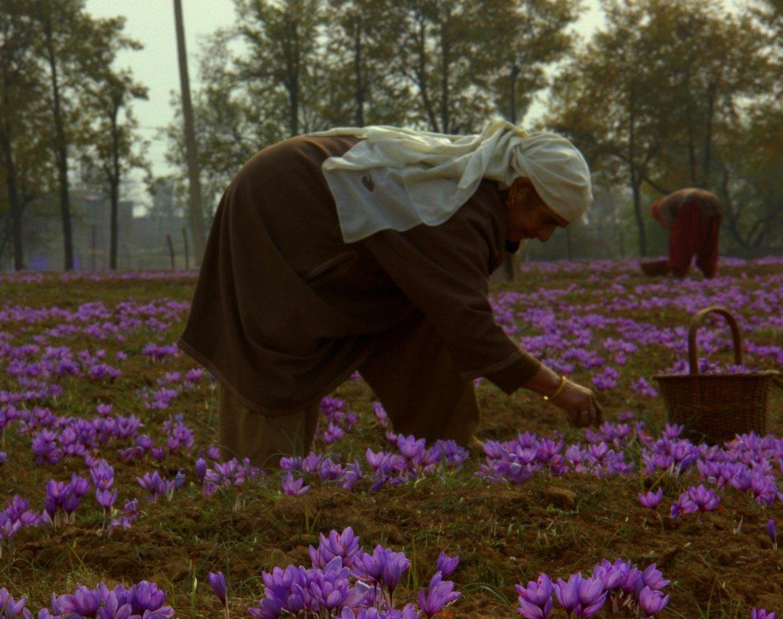 saffron cultivator in pampore