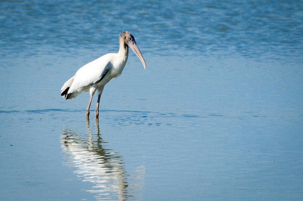 Una cigüeña disfruta del sol y las aguas de la Laguna Capitán, esta ave impresiona con su tamaño cuando extiende sus alas para el vuelo.  (Elton Núñez)