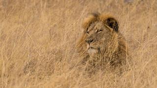 Cecil - Hwange National Park, Zimbabwe