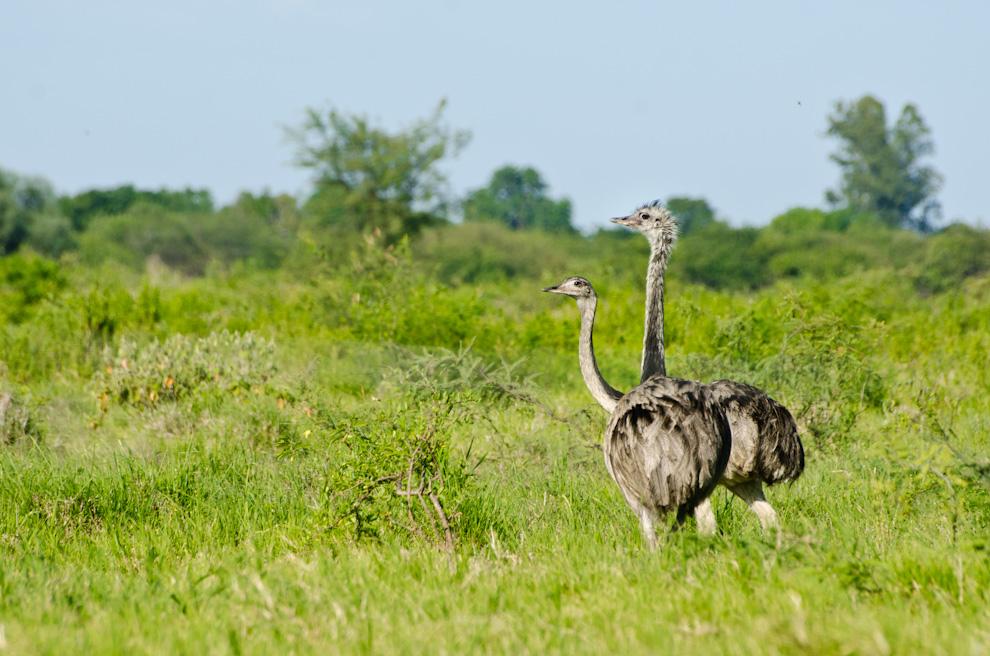 Una pareja de Ñandú Guasu es visto en el camino a Laguna Campo María en la salida de Laguna Capitán. Estas aves pueden verse cerca del camino de tierra, no le temen a los vehículos al pasar, lo que hace que fotografiarlas desde la ventana de los automóviles sea más conveniente. (Elton Núñez)